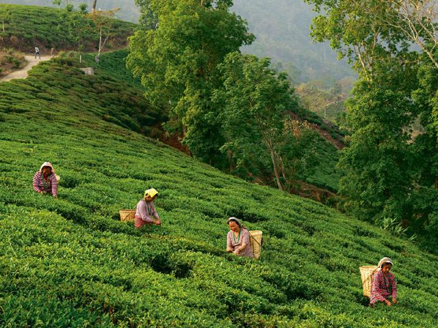 Darjeeling tea state